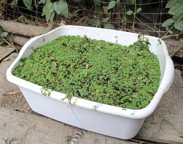 Dishpan of Azolla for hens