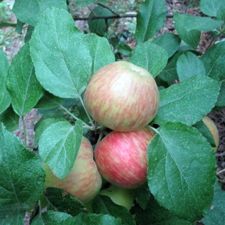 Honeycrisp apples getting ripe on tree