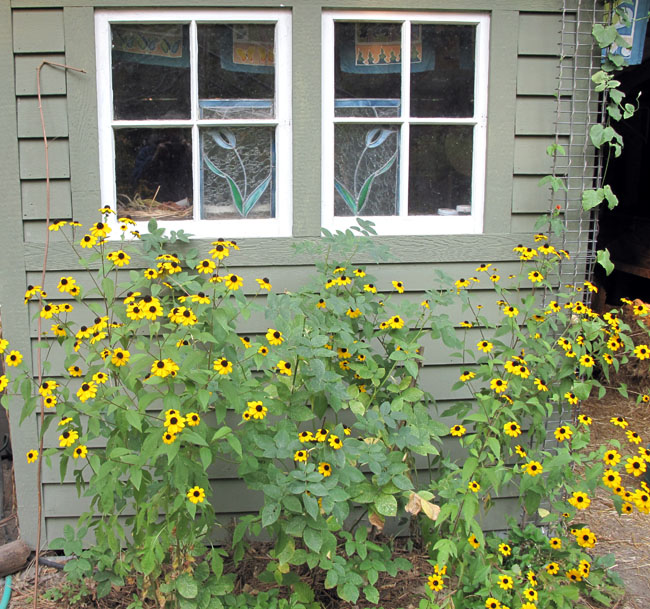 Rudbeckias in front of potting shed