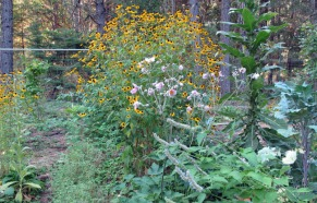 Rudbeckia, mullein, hyssop and comfrey on our first hugelcultur.