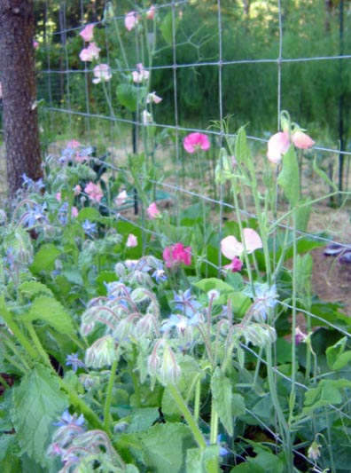 Sweet Peas And Borage