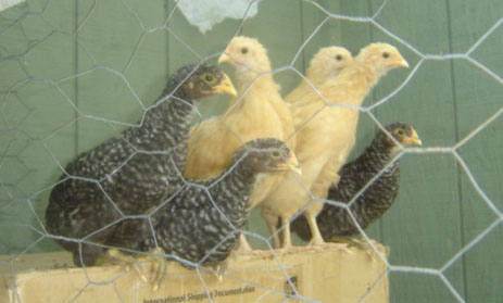 picture of young hens