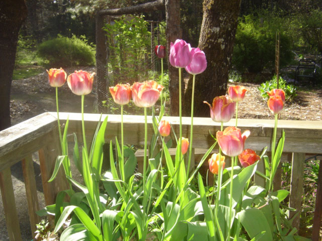 Tulips in the Wheelbarrow On Deck