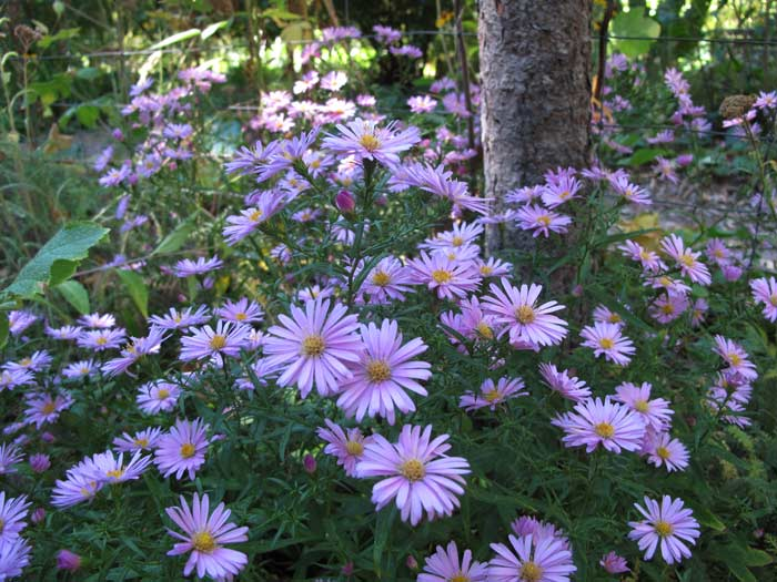 Closeup of low growing fall Asters