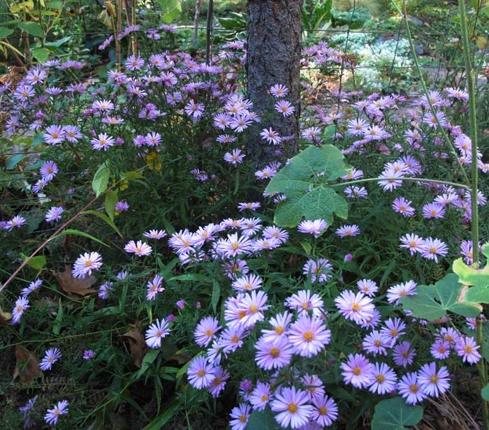Mass of low growing fall asters