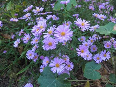 Fall Asters in garden