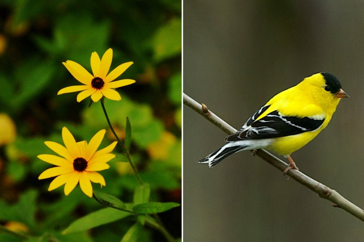 Black-eyed Susan and Goldfinches