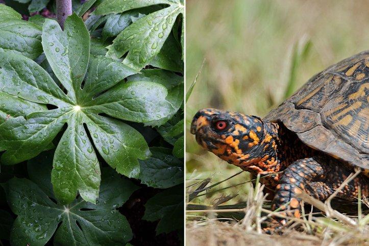 Mayapple and Box Turtles