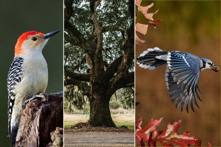 Oak, Red-Bellied Woodpeckers and Blue Jays