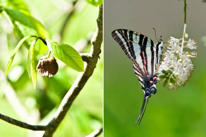 Pawpaw and Zebra Swallowtails
