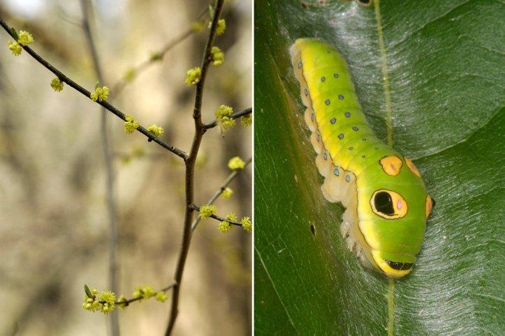 Spicebush and Spicebush Swallowtails
