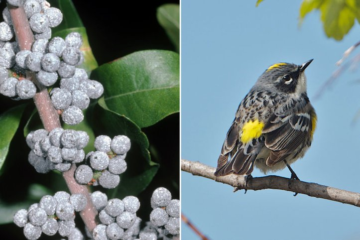 Bayberry and Yellow-Rumped Warblers