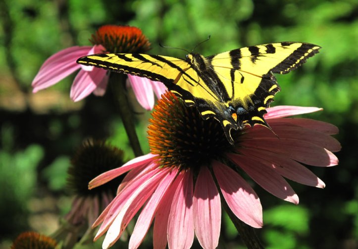 Oregon State Butterfly - the Swallowtail, on a Prairie Coneflower