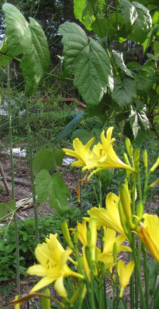 Daylilies, grape vines and new spring asparagus