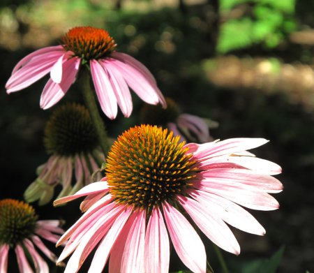 Prairie Coneflower closeup