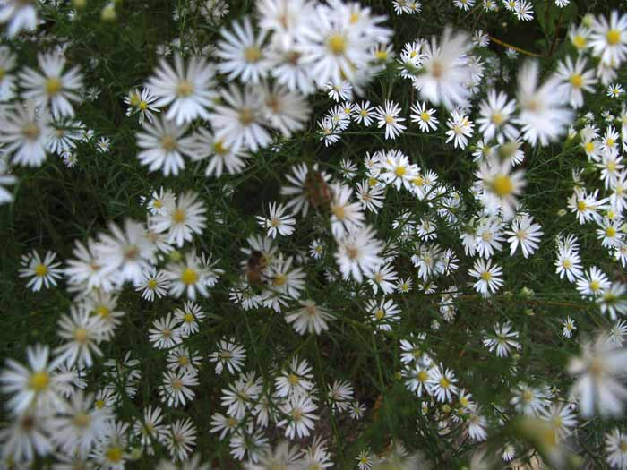 Heath Asters and Honeybees