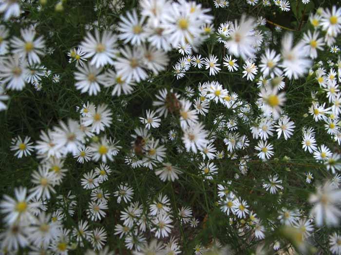 Heath Asters and Honeybees