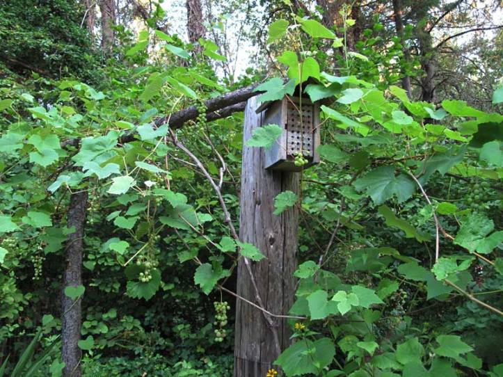 Mason Bee House and grape vine