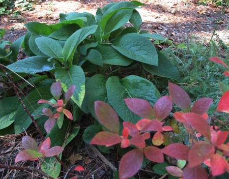 Fall Blueberry leaves and comfrey