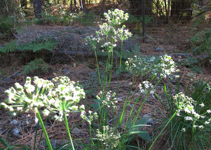 October Garlic Chives