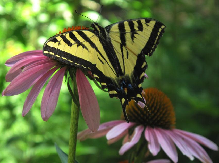 Oregon Swallowtail on Prairie Coneflower