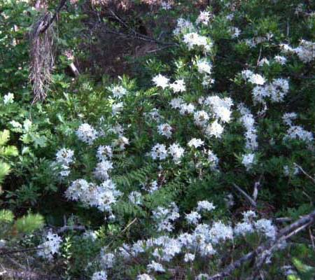 Wild Azaleas by our creek
