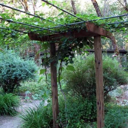 Kiwi arbor