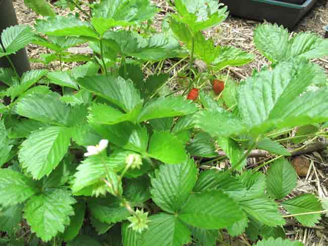 RedAlpineStrawberry
