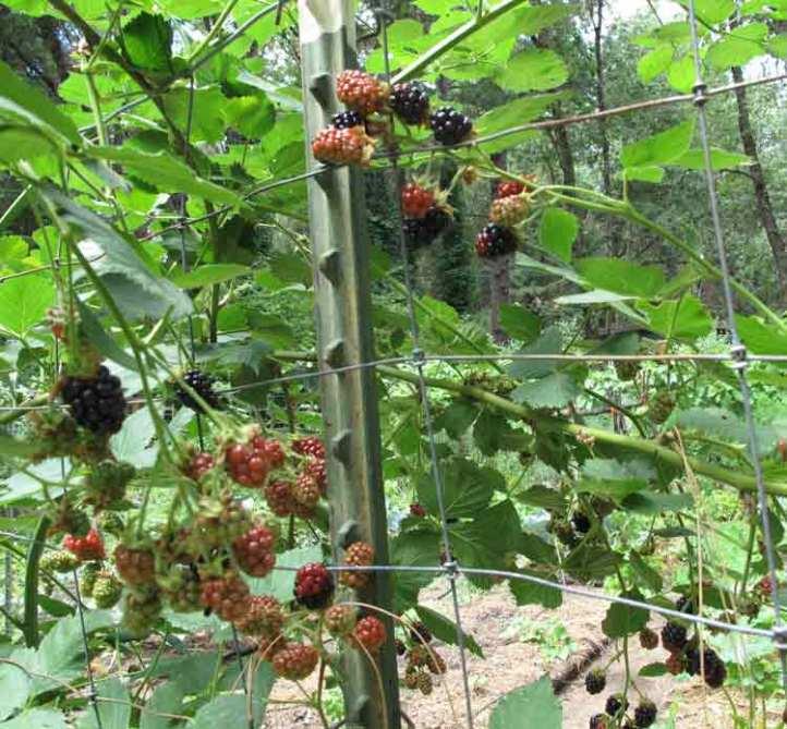 ThornlessBlackberries