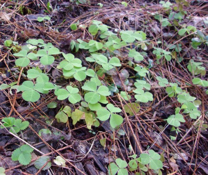 RedwoodSorrel